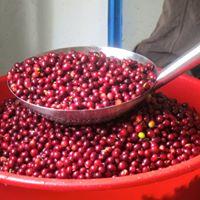 Organic Coffee Powder Special