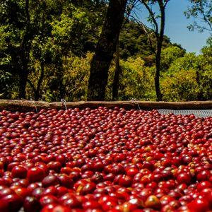 Organic Beans Coffee Medium